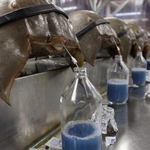 Horseshoe Crab Blood For Sale